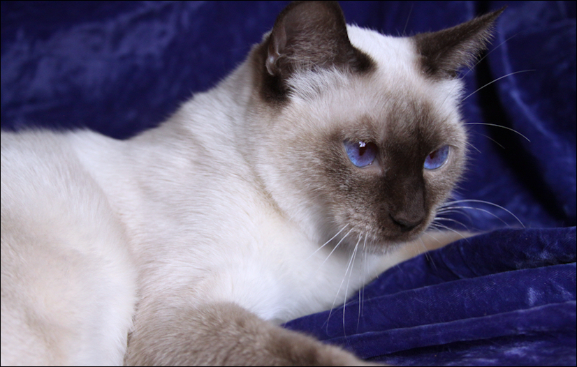"Home » Search results for ""Siamese Kitten For Sale Indiana"""
