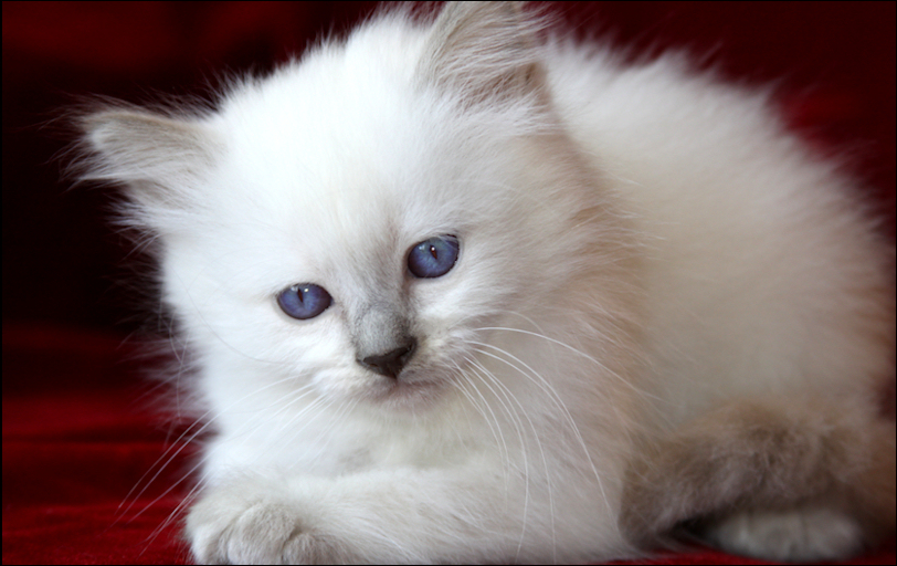 Traditional Kittens For Sale Siamese Cat Breeders Balinese