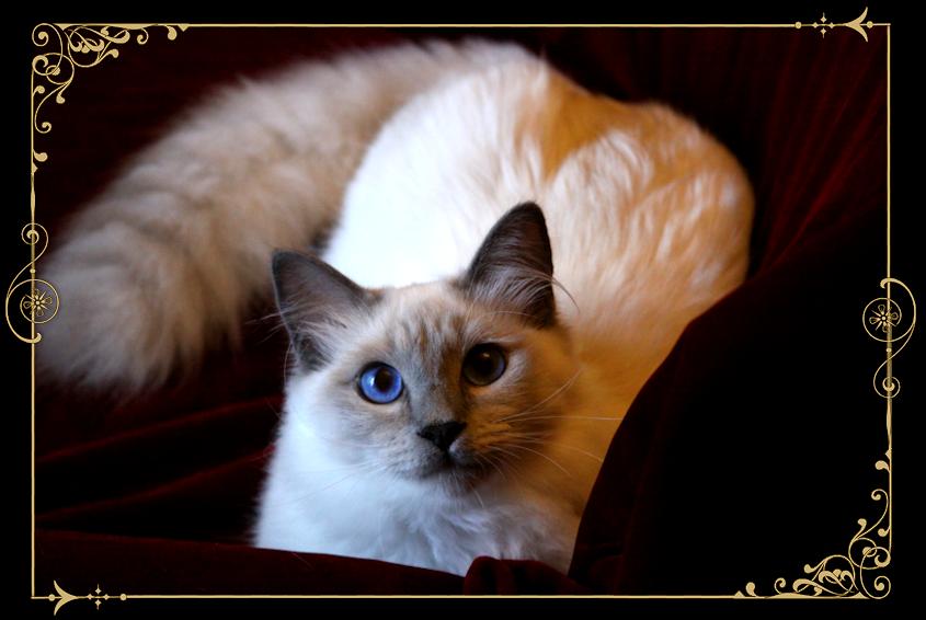 Siamese Cat Adoption Chicago
