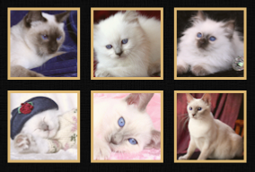 Traditional Siamese Cat Breeder Kittens for Sale Applehead Old Style