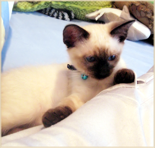 Kittens For Sale Applehead Traditional Siamese Cat Breeder Balinese